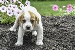 Picture of Presley: Beabull Male Puppy