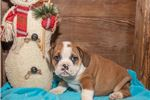 Picture of Boxer Male Beabull