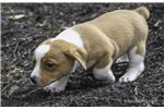 Picture of Elvis: Beabull Male Puppy