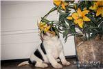 Picture of Oreo: Female Beaglier