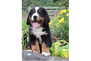 Bernese Mountain Dogs for sale