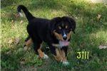 Picture of Jill: Female Bernese Mountain Dog AKC