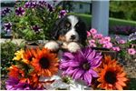 Picture of Tyrell Male Bernese Mountain Dog AKC