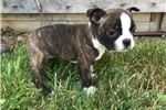 Picture of Gina Female AKC Boston Terrier