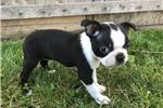 Picture of Jill Female AKC Boston Terrier