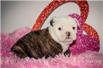 Picture of Roxy: Female English Bulldog