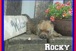 Picture of Rocky Male ACA Cairn Terrier