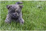 Picture of Jared: AKC Cairn Terrier Male Puppy
