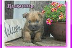 Picture of Roxanne ACA Cairn Terrier Female