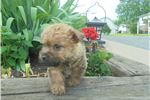 Picture of Ranae ACA Cairn Terrier Female
