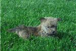 Picture of Rosy ACA Cairn Terrier Female