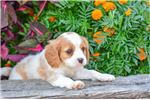 Picture of Charles: Male Cavachon Puppy