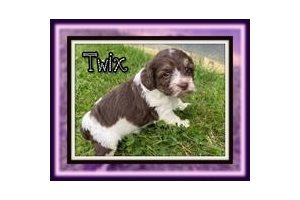 Cockapoo Puppies For Sale From Akron Canton Ohio Breeders