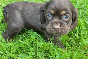 Precious  | Puppy at 9 weeks of age for sale