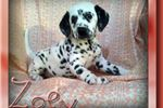 Picture of Zoey Female AKC Dalmatian