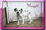 Picture of Maggie Female Dalmation