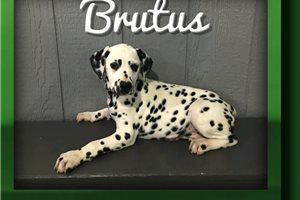 Picture of Brutus