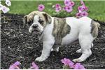 Picture of Chloe: Female English Bulldog Mix