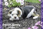 Picture of Jordan: Male English Bulldog Mix