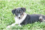 Picture of Jack: Male Toy Fox Terrier