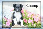 Picture of Champ: Male Toy Fox Terrier