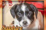 Picture of Saphire Male Toy Fox Terrier
