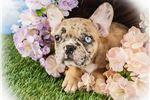 Picture of Gwen Female Frenchton
