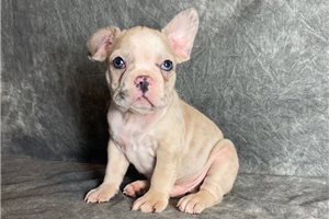 French Bulldog Puppies For Sale From Akron Canton Ohio Breeders