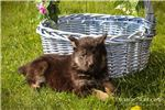 Picture of Princess: Female German Shepherd