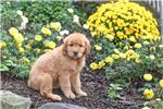 Picture of Kyle Male Golden Retriever