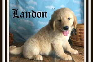 Landon  | Puppy at 9 weeks of age for sale