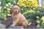 Picture of Ricky Male Golden Retriever