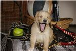 Picture of Lindor: Male AKC Golden Retriever