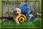 Golden Retriever for sale