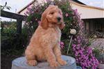 Picture of Lola Female Irish Goldendoodle