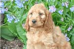 Picture of Alonso: Male Irish Goldendoodle
