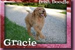 Picture of Gracie Female Irish Doodle