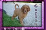 Picture of Gertie Female Irish Doodle