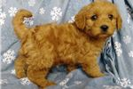 Picture of Boots Male Mini Labradoodle