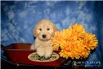 Picture of Porsha: Female Labradoodle