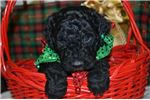Picture of Zayla Female F1B Labradoodle