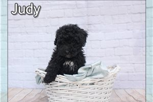Judy  | Puppy at 8 weeks of age for sale