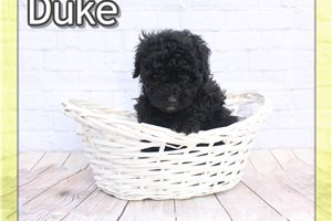 Duke  | Puppy at 8 weeks of age for sale