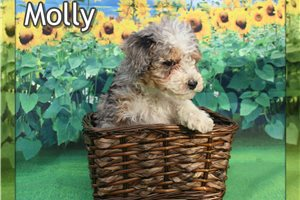 Molly  | Puppy at 8 weeks of age for sale
