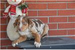Picture of Jordan Male Aussie Mountain Cur Mix