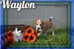 Picture of Waylon Male Mountain Cur Mix
