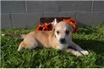 Picture of Willy Male Mountain Cur Mix