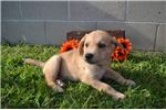 Picture of Bryan Male Mountain Cur Mix