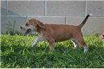 Picture of Reba Female Mountain Cur Mix