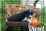 Picture of Diesel Male Australian Cur Mix